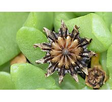 Tongue-leaved Mesemb - Seed Capsule Photographic Print