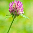 Clover flower by Arve Bettum