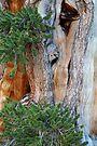 Bristlecone Pine by William C. Gladish