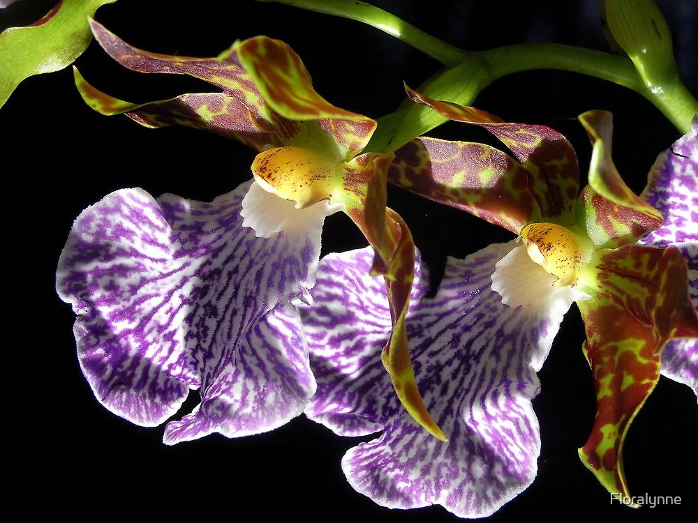 zygopetalum hybrid by Floralynne