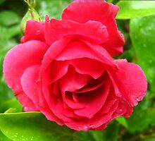 Red Rose. by Forfarlass