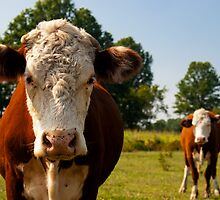 Two curious cows by Jim Butera