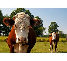 Two curious cows Photographic Print