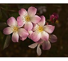 Lyda Rose, oh won't you be mine? Photographic Print