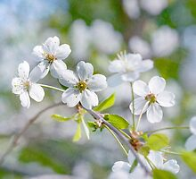 White Cherry Blossoms In Spring by luckypixel