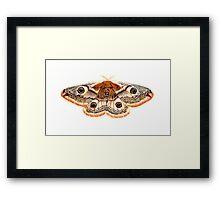 Saturnia pavonia Framed Print