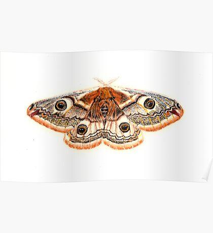 Saturnia pavonia Poster
