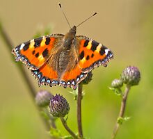 Small Tortoiseshell Butterfly by Margaret S Sweeny