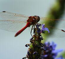 Dragonfly by karina5