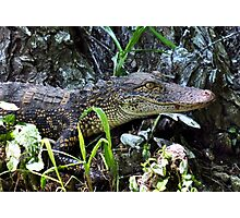 Young Alligator Stalking His Lunch Photographic Print