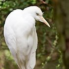 Western Cattle Egret by Tamara  Kaylor