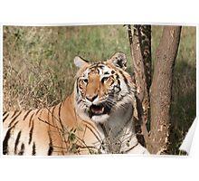 Royal bengal Tiger inside the Delhi zoo Poster