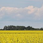 Canola field by Marcelene McCowan