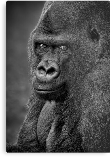 Lowland Gorilla by Patricia Jacobs CPAGB LRPS BPE3