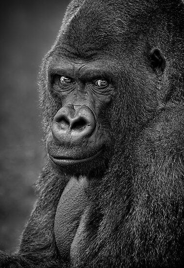 Lowland Gorilla by Patricia Jacobs DPAGB LRPS BPE4