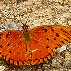 Gulf Fritillary by globeboater