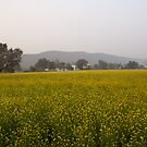 Rural Landscape with a field of mustard by ashishagarwal74