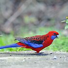 Crimson Rosella. Cedar Creek, Queensland, Australia. by Ralph de Zilva