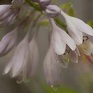 ....hosta flowers........... by Jane Anastasia Studio