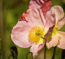 Spring Poppy by reflector