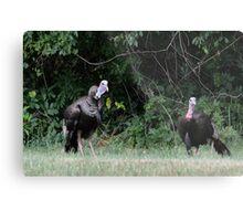 Turkeys - (Meleagris gallopavo) Metal Print