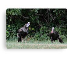 Turkeys - (Meleagris gallopavo) Canvas Print