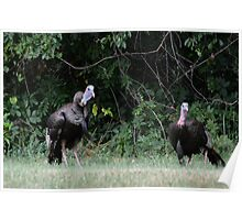 Turkeys - (Meleagris gallopavo) Poster