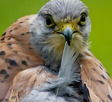 Kestrel by Moonlake