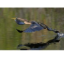 Anhinga Takeoff Photographic Print