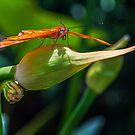 Julia Heliconian butterfly, (Dryas Iulia) by Eyal Nahmias