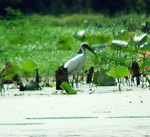 swamp bird  by totorohappy1984