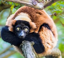 Red Buffed Lemur by Jim Stiles
