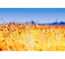 Tarwe field Photographic Print