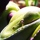 Green Tree Python by Shaneface