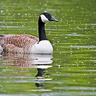 Canada Goose by zoundz