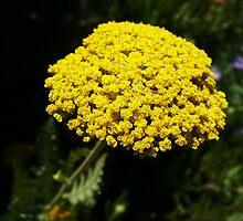 Yellow Yarrow Macro by IntricateKnot