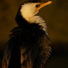 Little Pied Cormorant portrait - Garden Island, South Australia by Dan & Emma Monceaux
