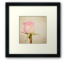 Single Baby Pink Rose Framed Print