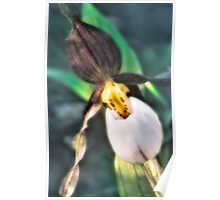Lady Slipper Poster