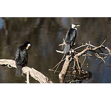 Two Cormorants on the Canning River, Perth W.A. Photographic Print