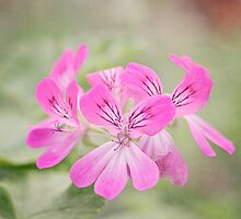 Pretty pink Geraniums by Zoe Power