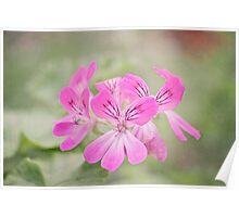 Pretty pink Geraniums Poster