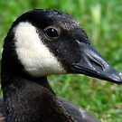 Canadian WaterFowl by PatChristensen