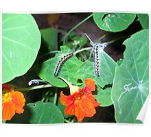 2 caterpillars taking their turn to eat the leaves of a plant having beautiful orange flowers Poster