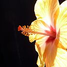 Fiery hibiscus  by Hannah Clair Phillips