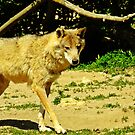 """"""" Are there Wolves in France?? Yep we saw them!"""" by Malcolm Chant"""