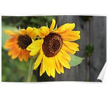 Sunflower Duet Poster