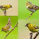 Siskin Collage by Margaret S Sweeny