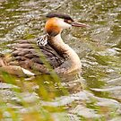 Great Crested Grebe by Margaret S Sweeny