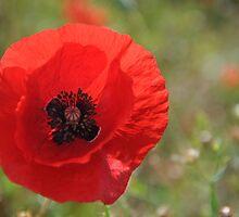 Red Poppy by Ana  Eugénio